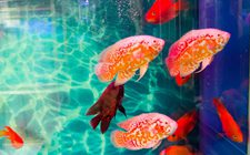 观赏鱼养殖怎么管理?观赏鱼的四季管理要点