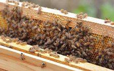 蜜蜂吃什么食物?蜜蜂的饲料配置方法