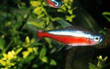 灯鱼和什么鱼混养好?10种适合与灯鱼混养的鱼类介绍!