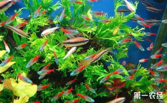 红绿灯鱼怎么养?红绿灯鱼的繁殖方法与养殖管理
