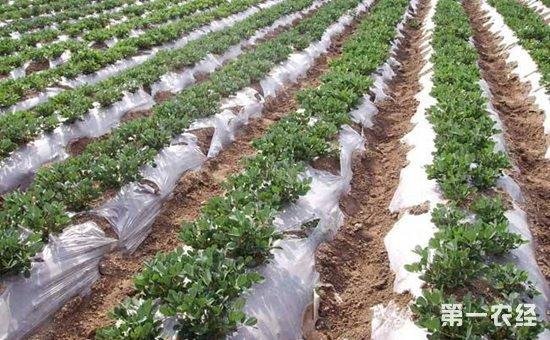 花生种植怎么覆盖地膜?花生的高产地膜覆盖栽培技术要点