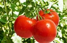 西红柿何时喷施生物菌剂