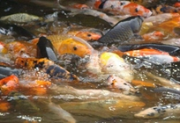 怎么进行鲤鱼作配养的成鱼放养