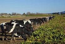 初次养奶牛注意事项奶牛养殖注意事项