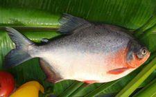 鲳鱼是海鱼还是淡水鱼?鲳鱼的种类有哪些?