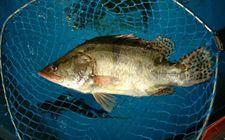 桂鱼是淡水鱼还是海鱼?桂鱼的种类有哪些?