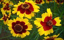 蛇目菊的种植方法及习性是怎样的?蛇目菊的种植方法及习性介绍