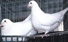肉鸽如何养殖?新手养殖肉鸽的注意事项