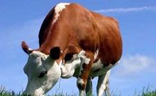 如何科学养牛?肉牛饲养四大注意事项