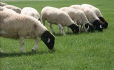 羊贫血有什么症状?羊贫血该如何防治?