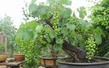 盆栽葡萄冬季如何管理?盆栽葡萄安全越冬技术要点