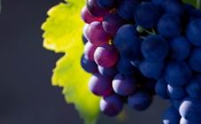 葡萄为何频繁落花落果?葡萄频繁落花落果的原因