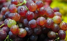 秋季葡萄该如何管理?葡萄秋季管理技术要点