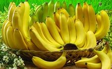 香蕉枯萎病如何防治?香蕉枯萎病的症状及防治方法