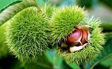 <b>板栗有哪些常见虫害?板栗常见虫害的防治方法</b>