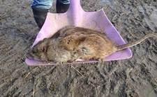 "<b>英国出现基因变异的""超级老鼠"" 普通灭鼠药失灵</b>"