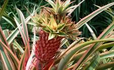 艳凤梨跟菠萝有什么不同?艳凤梨的养护方法与注意事项