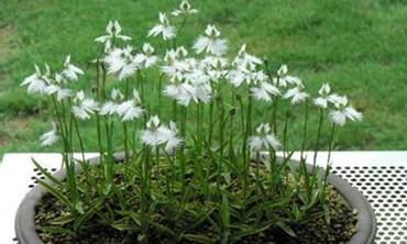 鹭草什么时候开花?鹭草花的人工栽培种植方法