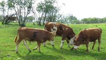 一头牛有多重?牛一天要吃多少草?
