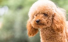 贵宾犬染上疾病怎么办?贵宾犬常见疾病的处理方法介绍!