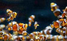 <b>小丑鱼疾病有哪些?小丑鱼常见疾病的治疗方法</b>