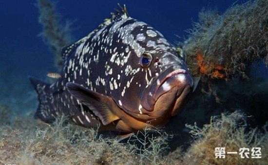 石斑鱼染上疾病怎么办?石斑鱼常见疾病的病症与防治