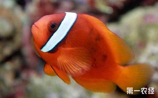 小丑鱼怎么养?小丑鱼的繁殖方法和养殖要点
