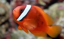 <b>小丑鱼怎么养?小丑鱼的繁殖方法和养殖要点</b>