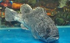 石斑鱼怎么养好?石斑鱼的高效养殖技术