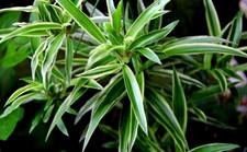 """7种被称为""""甲醛克星""""的盆栽植物介绍!吸收甲醛保健康"""