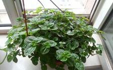 吸毒草怎么养?吸毒草的繁殖方法和养殖要点