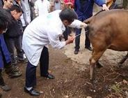 怎么对牛进行人工授精?牛人工授精技巧
