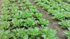 蔬菜大棚味道大怎么处理?如何做好蔬菜大棚通风