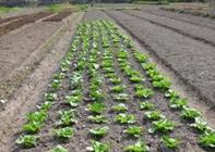 定植蔬菜种植管理技术