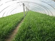 温室韭菜怎么有效收割?如何提高温室韭菜的收割效率正确方式