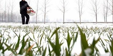 雪后小麦怎么进行管理?雪后小麦管理方法