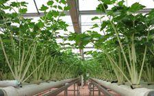 芹菜什么时间种植好?