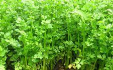 怎样防治芹菜斑枯病?
