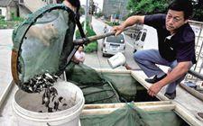 怎样科学放养桂花鱼鱼种?