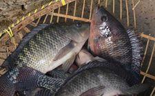 罗非鱼是不是很脏?罗非鱼有哪些特点?