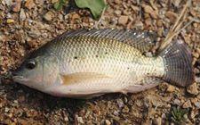 罗非鱼的品种有哪些?罗非鱼品种及图片大全