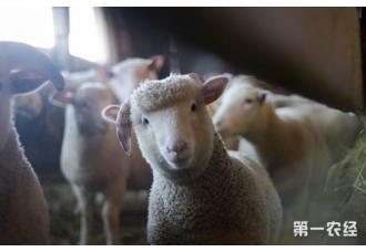 """继""""人猪胚胎""""之后 科学家再培育出""""人羊胚胎"""""""