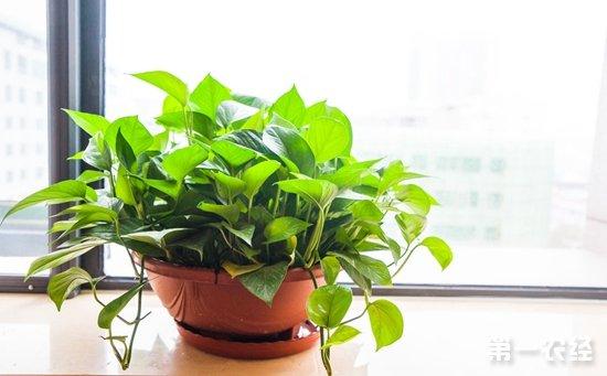 7种具有良好净化空气效果的盆栽植物介绍!效果堪比空气净化器