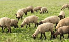 """2017年新疆畜牧业总产值达686.95亿元 实现产量效益""""双增长"""""""