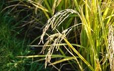 我国科学家发现稻田杂草防控新机制 助力农业可持续发展