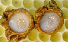 蜜蜂染上疾病怎么办?6种常见蜜蜂疾病的防治方法
