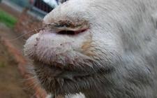 羊口疮怎么治?羊口疮的预防措施与治疗方法