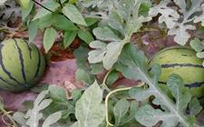 西瓜种植怎么管理?西瓜种植的田间管理技术要点