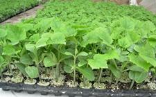 茄子种植怎么育苗?茄子的高效育苗技术