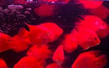 血鹦鹉鱼怎么养最红?血鹦鹉鱼的养殖要点